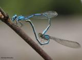 Pond Damsels (Family: Coenagrionidae)