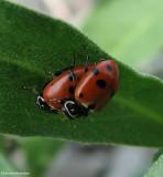 Variegated ladybeetle (Hippodamia variegata)