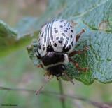 Willow Calligrapha beetle (Calligrapha  multipunctata) on willow