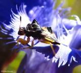Ambush Bugs (Family: Reduviidae, Subfamily: Phymatinae)