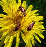Spotted ladybeetles (Coleomagilla maculata) on dandelion