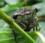 Cicada (Tibicen canularis)