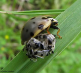 Fifteen-spotted ladybeetle  (Anatis labiculata) emerging from pupal case