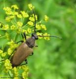 Flower longhorn beetle (Trigonarthis) on wild parsley