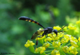 Gasteruptiid Wasps (Family: Gasteruptiidae)