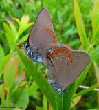 Butterflies (Lepidoptera) (8 Galleries)