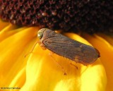 Leafhopper  (Coelidia olitoria) on Rudbeckia