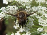 Bee fly (Villa cf. alternata), a bee mimic