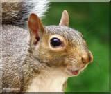 Grey Squirrels  (Sciurus carolinensis)