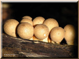 Puffballs and Related Fungi (Earthstars and Bird's Nest Fungi)