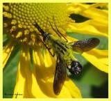 Bee fly (Lepidophora lutea) on Sneezeweed