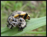 Fifteen-spotted ladybeetle  (Anatis labiculata) emerging from pupal skin