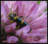 Checkered beetle (Trichodes nutalli) on Red Clover