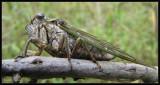 Dog-day Cicada  (Tibicen canularis)