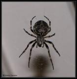 Bridge orb weaver (Larinioides sclopetarius), female
