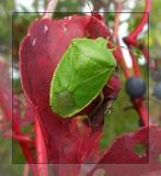 Stinkbugs (Pentatomidae)  (4 Galleries)