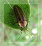 Firefly (Photuris sp.)