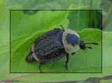 Burying beetle (Necrophila americana)