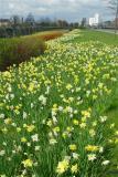 Daffodils on Lloyd George Avenue