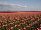 tulip_fields_forever
