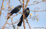 Leaves starlings 143.jpg