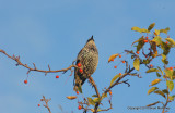 Leaves starlings 112.jpg