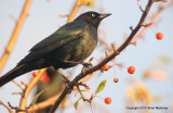 Leaves starlings 154.jpg