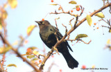 Leaves starlings 126.jpg