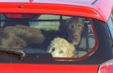 dogs_in_cars