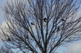crows and sky 004.jpg