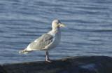 gulls post pt 042.jpg
