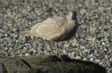 gulls post pt 062.jpg