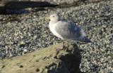 gulls post pt 063.jpg