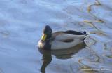 padden ducks 078.jpg