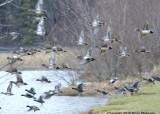 ducks padden jan 4 11 037.jpg
