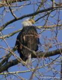 eagles tamron 4 8 046.jpg