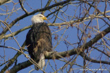eagles tamron 4 8 052.jpg