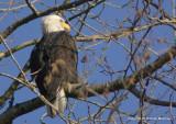 eagles tamron 4 8 054.jpg