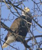 eagles tamron 4 8 094.jpg