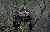 eagles2  1  13b  2011 085.jpg