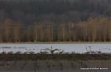 swans eagle 067.jpg