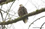 eagles2 1 22 11 007.jpg