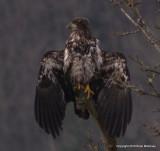 eagles3 1 27 11 056.jpg