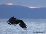 eagle bbay heron 1 30 11 102.jpg