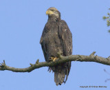 eagles hawks heron 1 31 11 086.jpg