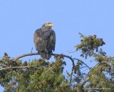 eagles hawks heron 1 31 11 097.jpg