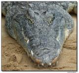croc-10694-sm.JPG