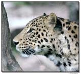 leopard-10790-sm.JPG