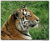 tiger-10771-sm.JPG