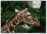 giraf-10669-sm.JPG